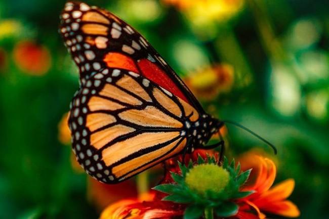 Monarch meritt-thomas-unsplash