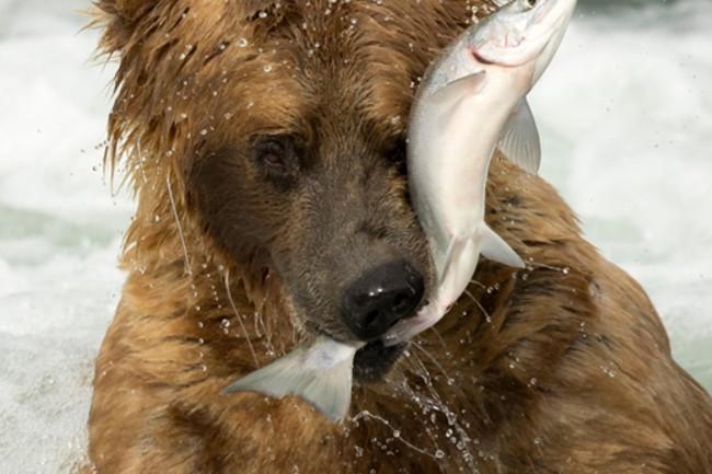 Alaskan grizzly bear - Alamy