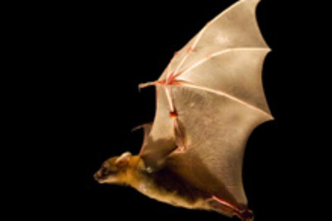 bat-flying.jpg