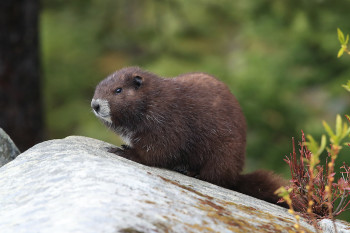 Marmots Are Teaching Their Captive-Bred Friends How to Live in the Wild