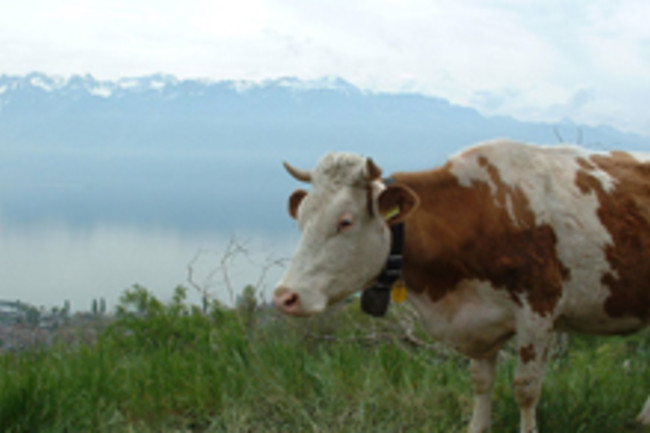 Swiss_Cow.jpg