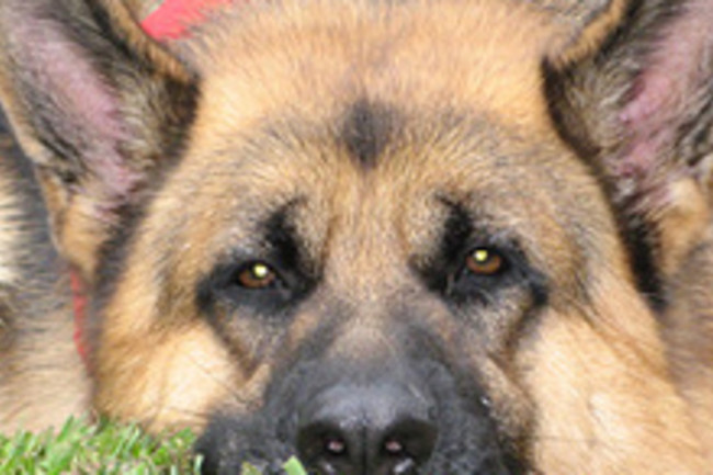 german-shepherd220.jpg
