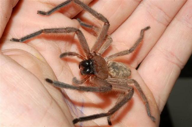 Huntsman-spider-in-hand.jpg