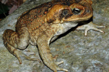 Finally, a Predator to Control the Notorious Cane Toad: Meat Ants?