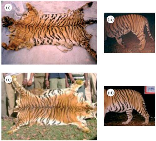 Tigerskins.jpg