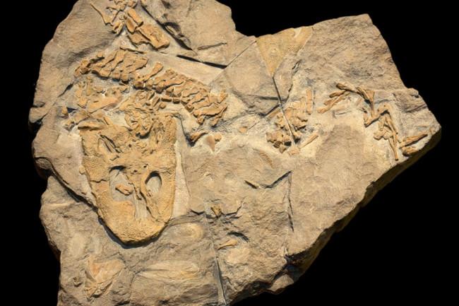 Acanthostega fossil