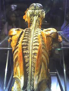 spinal-cord.jpg