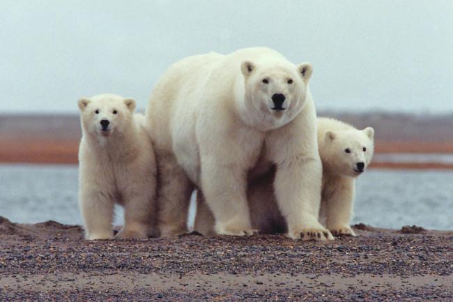 Polar_bear_with_young_-_ANWR-1024x725.jpg
