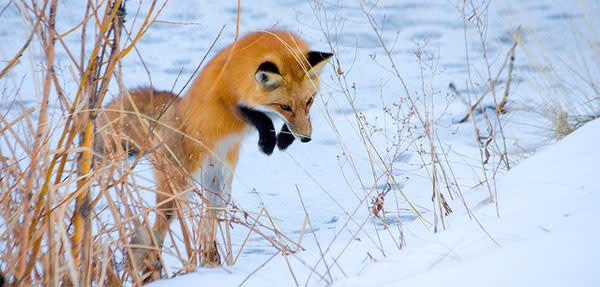Fox_pounce