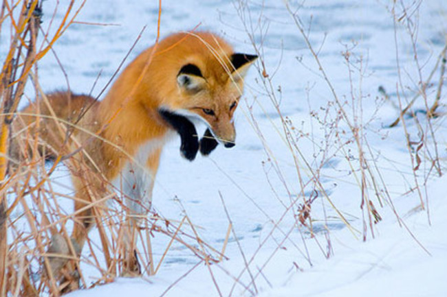 Foxes Use The Earth S Magnetic Field As A Targeting System Discover Magazine