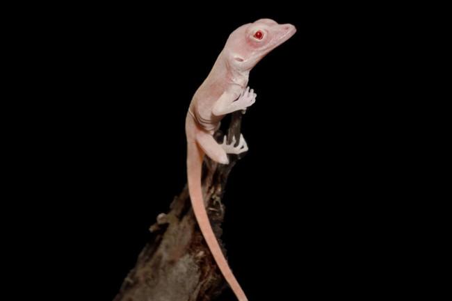 Albino-Lizard-1024x930