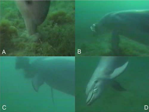 Dolphin_eat_cuttlefish.jpg