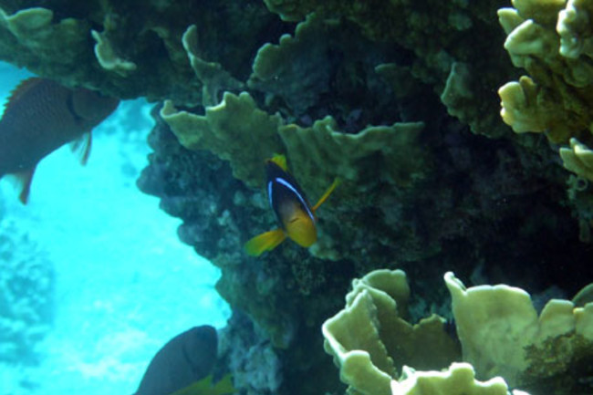 Clownfish_portrait.jpg