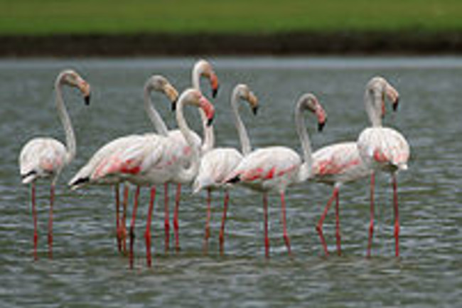 220px-Greater Flamingoes (Phoenicopterus roseus) W2 IMG 0072
