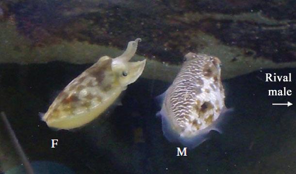 CuttlefishDeception.jpg