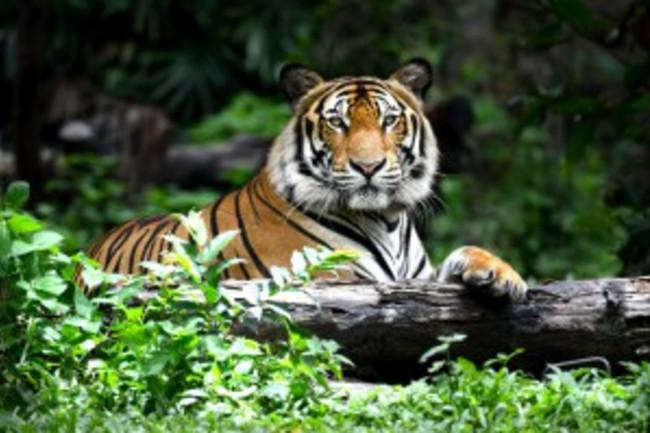 Bengal Tiger - Shutterstock