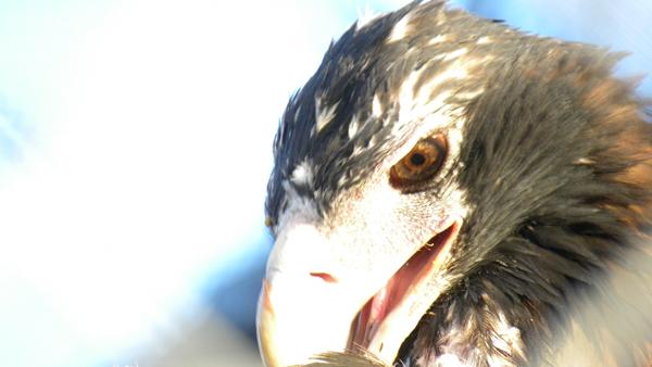 Wedge_tailed_eagle.jpg