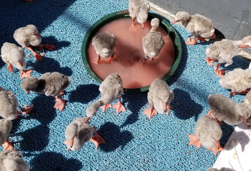 Group-of-Baby-FLamingos-Eating-and-Sunning.jpg