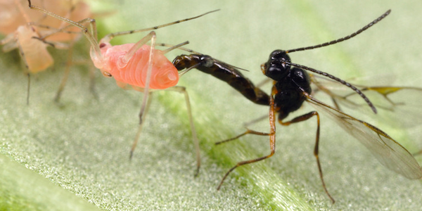 Wasps laying on aphids