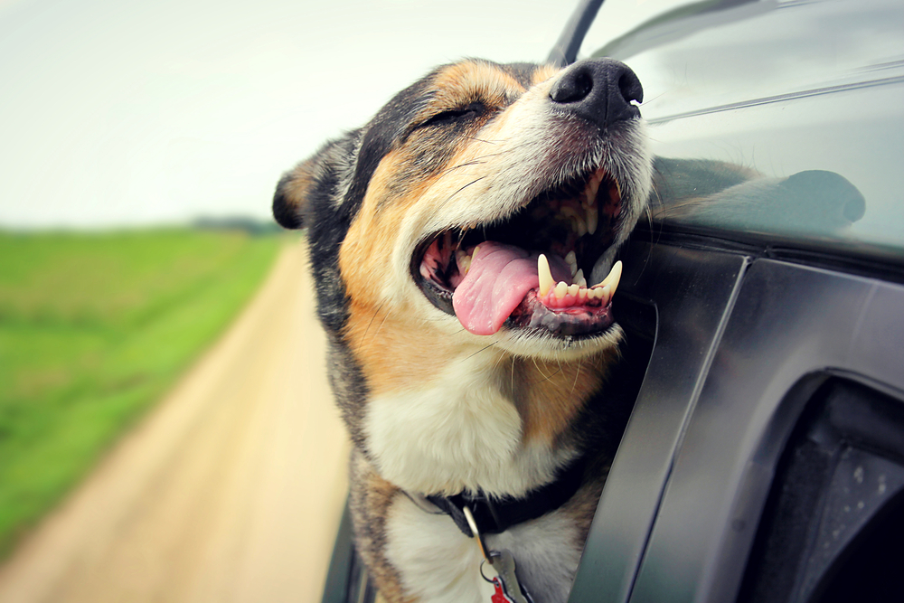 Why Your Dog Likes Sticking Its Head Out the Car Window
