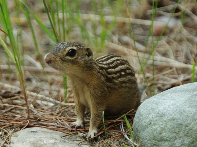 Groundsquirrel4-300-1024x764.jpg