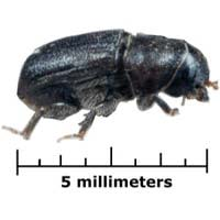 Mountain_pine_beetle.jpg