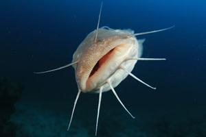 Eel catfish