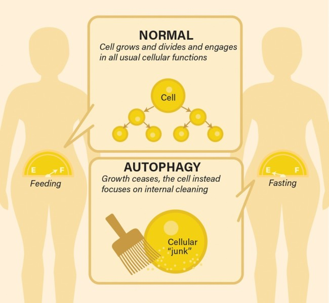 Autophagy Infographic - Discover