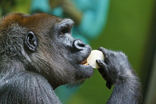 Tambako Gorilla