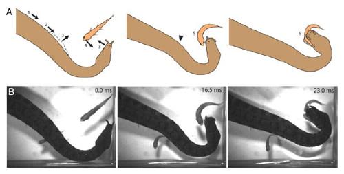 Tentacled-snake-strike.jpg