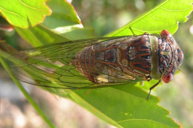 Cicada - Flickr