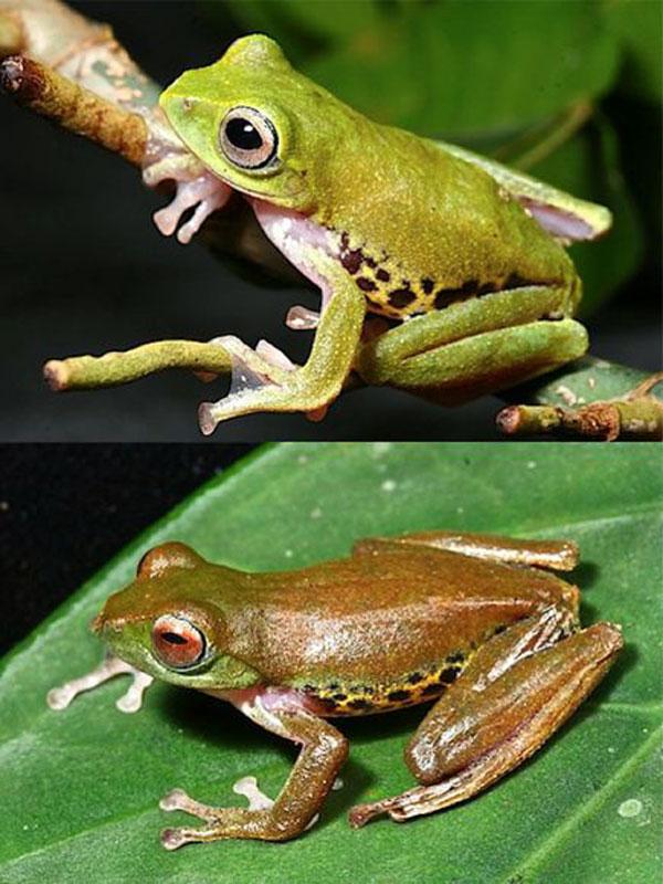 borneo-mulu-flying-frog_1931.jpg
