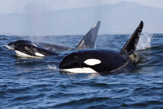 killer whale orca - shutterstock