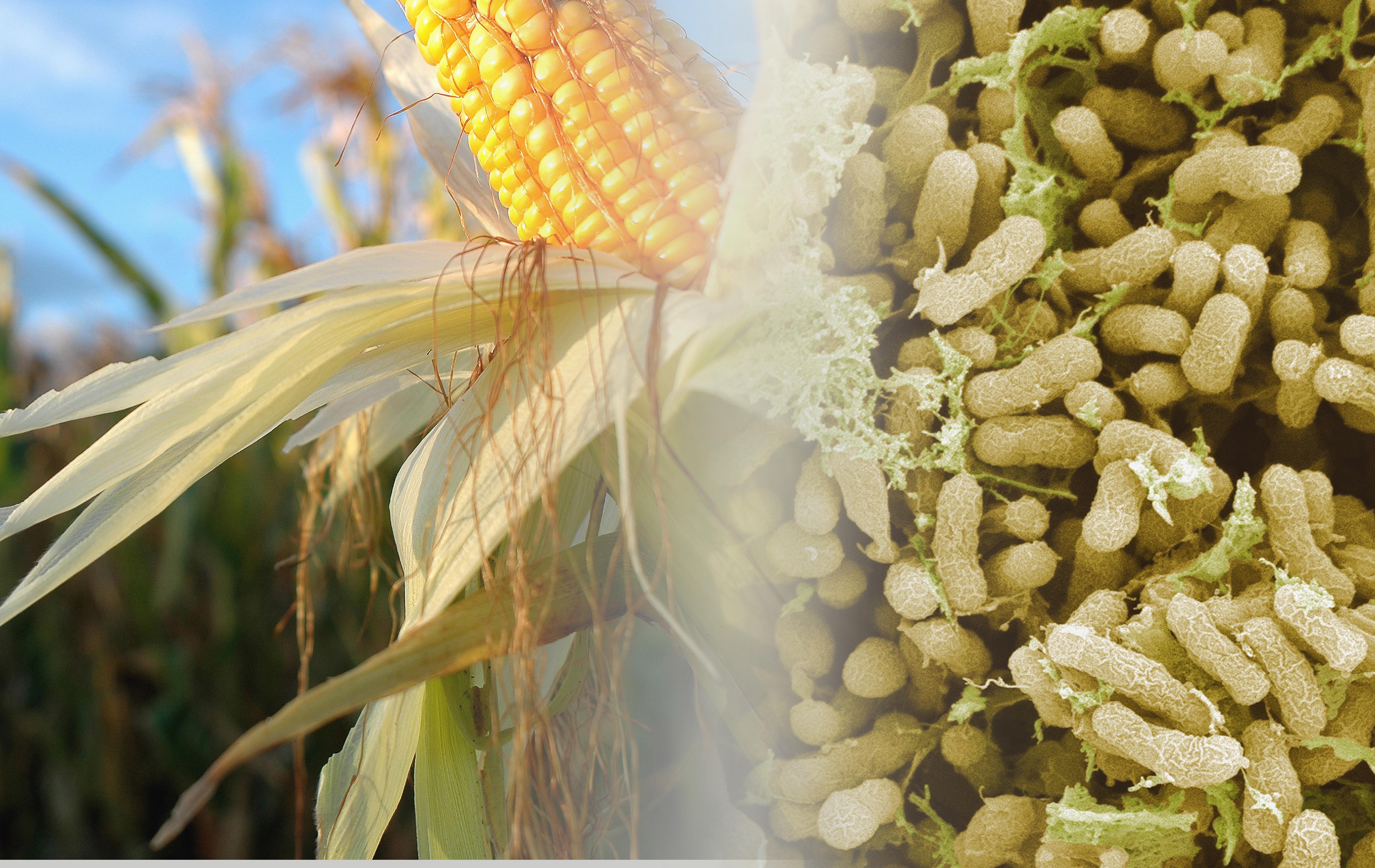 GIANT N-Efficiency Nitrogen-Fixing Maize Corn Seed MIX FREE Teosinte SEEDS