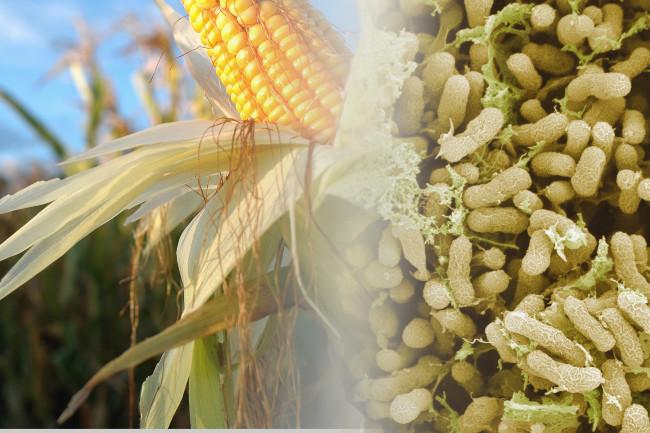 DSC-NC1119 01 corn microbes