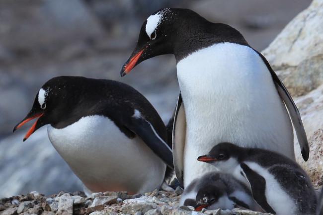 1024px-Pygoscelis_papua_-Jougla_Point_Wiencke_Island_Palmer_Archipelago_-adults_and_chicks-8.jpg