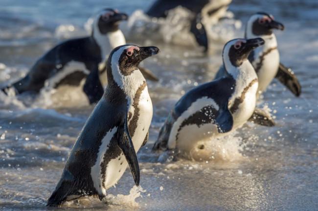 African-penguins-By-Sergey-Uryadnikov-1-1024x658