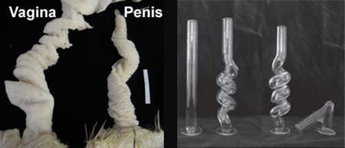 Duck Genitals - Brennan