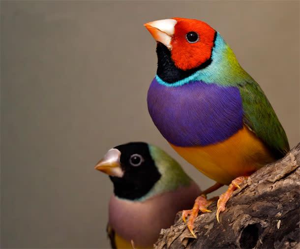Gouldian-finches.jpg