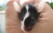 mouse-ears.jpg