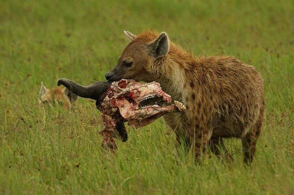 spotted-hyena-e1333647211791.jpg