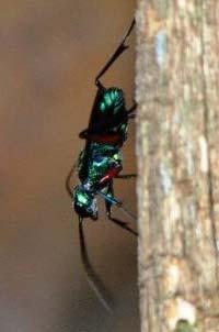 Jewel-wasp.jpg