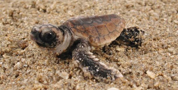 Turtle_hatchling.jpg
