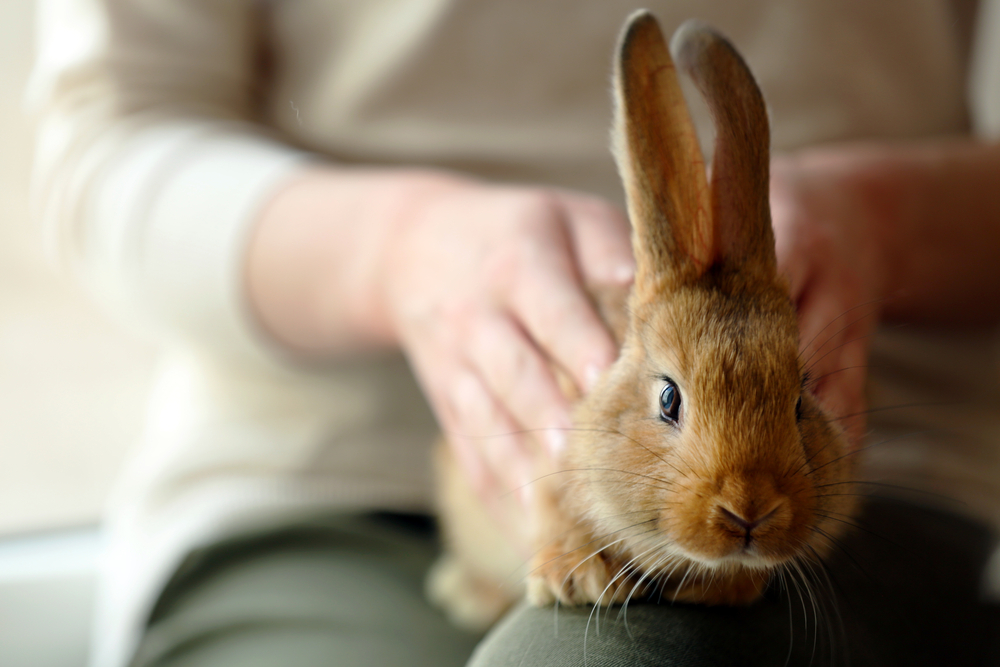 How Rabbits Became Our Pets