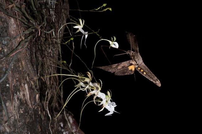 Giant Sphinx Moth Pollinating