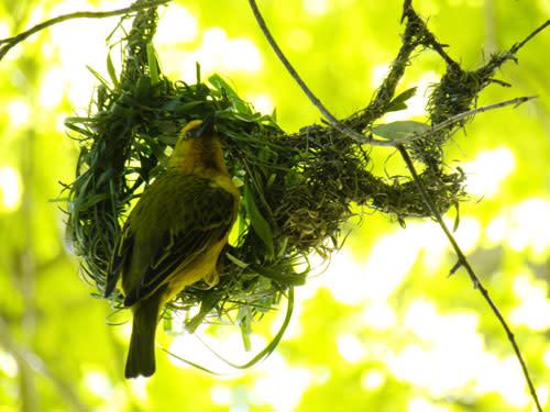 Weaverbird.jpg