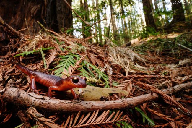 Ensatina salamander - Lane - DSC-NT0818 01