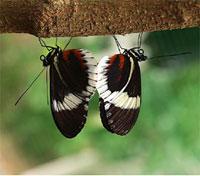 Mating_butterflies.jpg