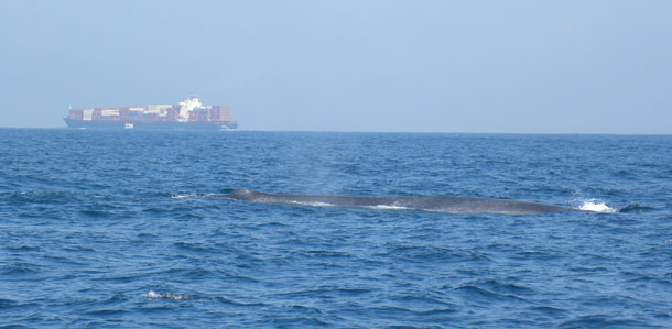 BlueWhale_shipping.jpg