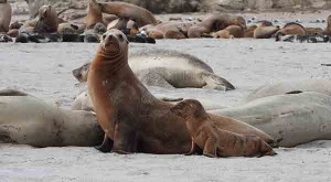 California-sea-lion-with-skinny-pup2-300x165.jpg